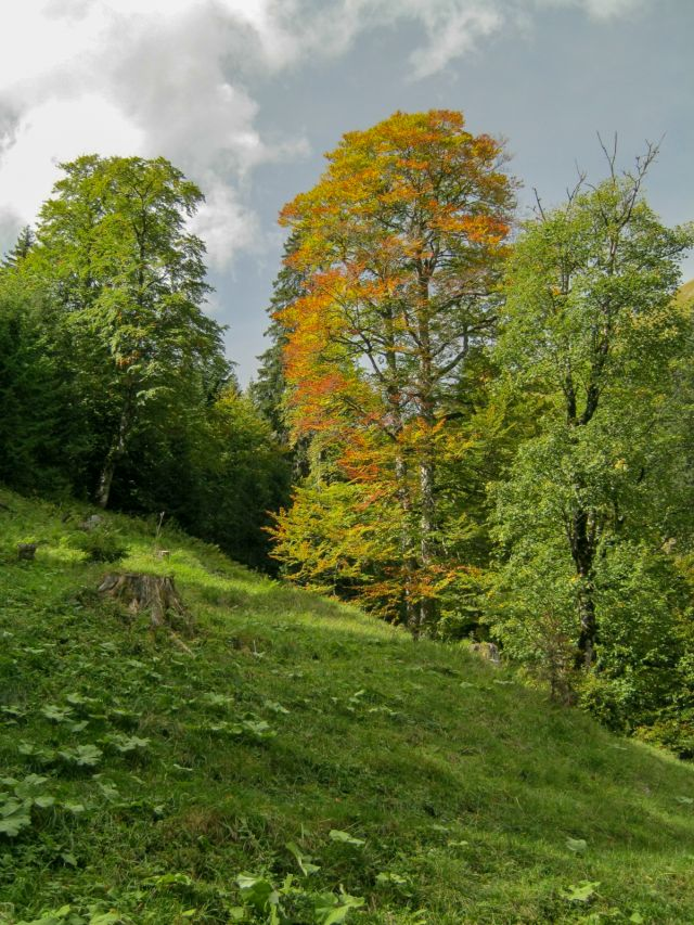 Buche Bergwald