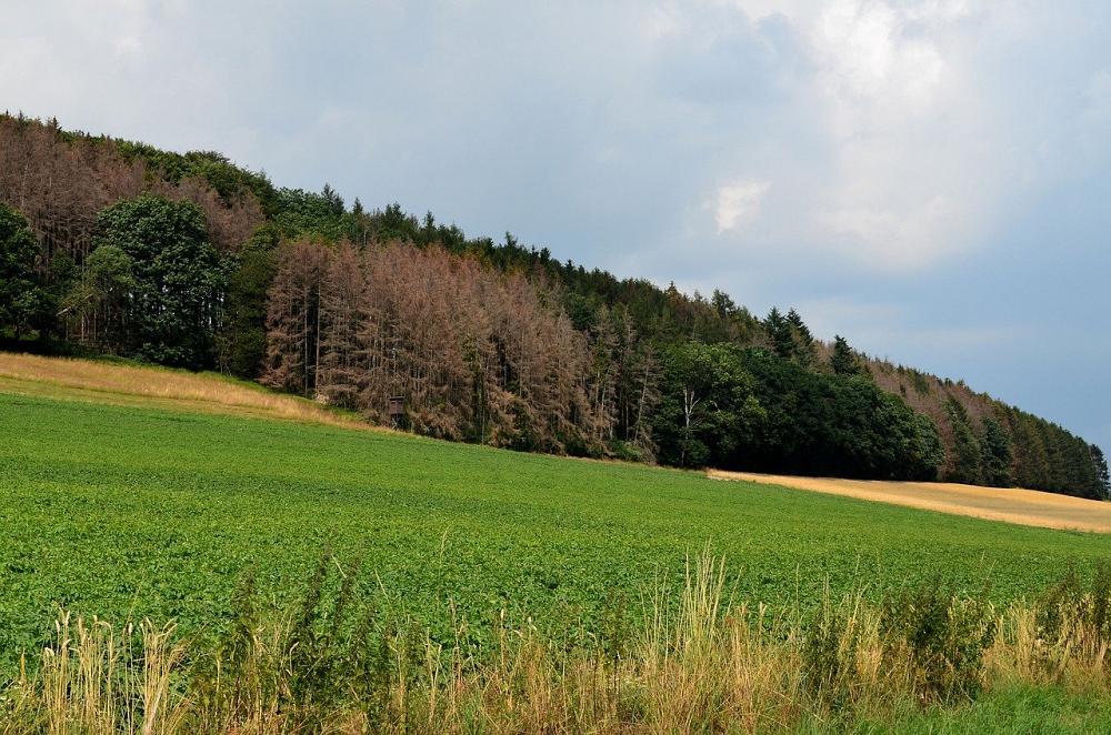 Kein Tourist: Der Nordische Fichtenborkenkäfer in Bayern